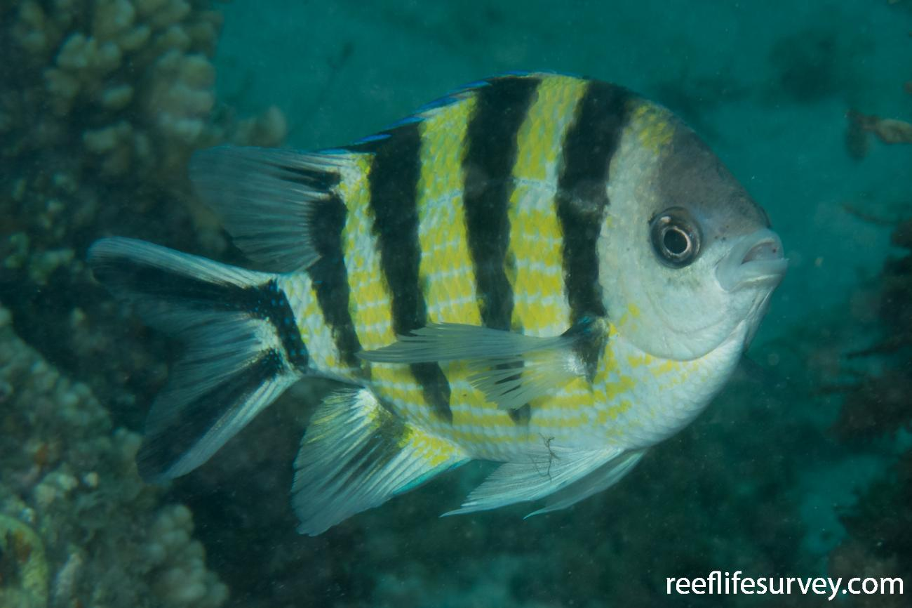 Abudefduf sexfasciatus, Spawning colours; NSW, Australia,  Photo: Rick Stuart-Smith