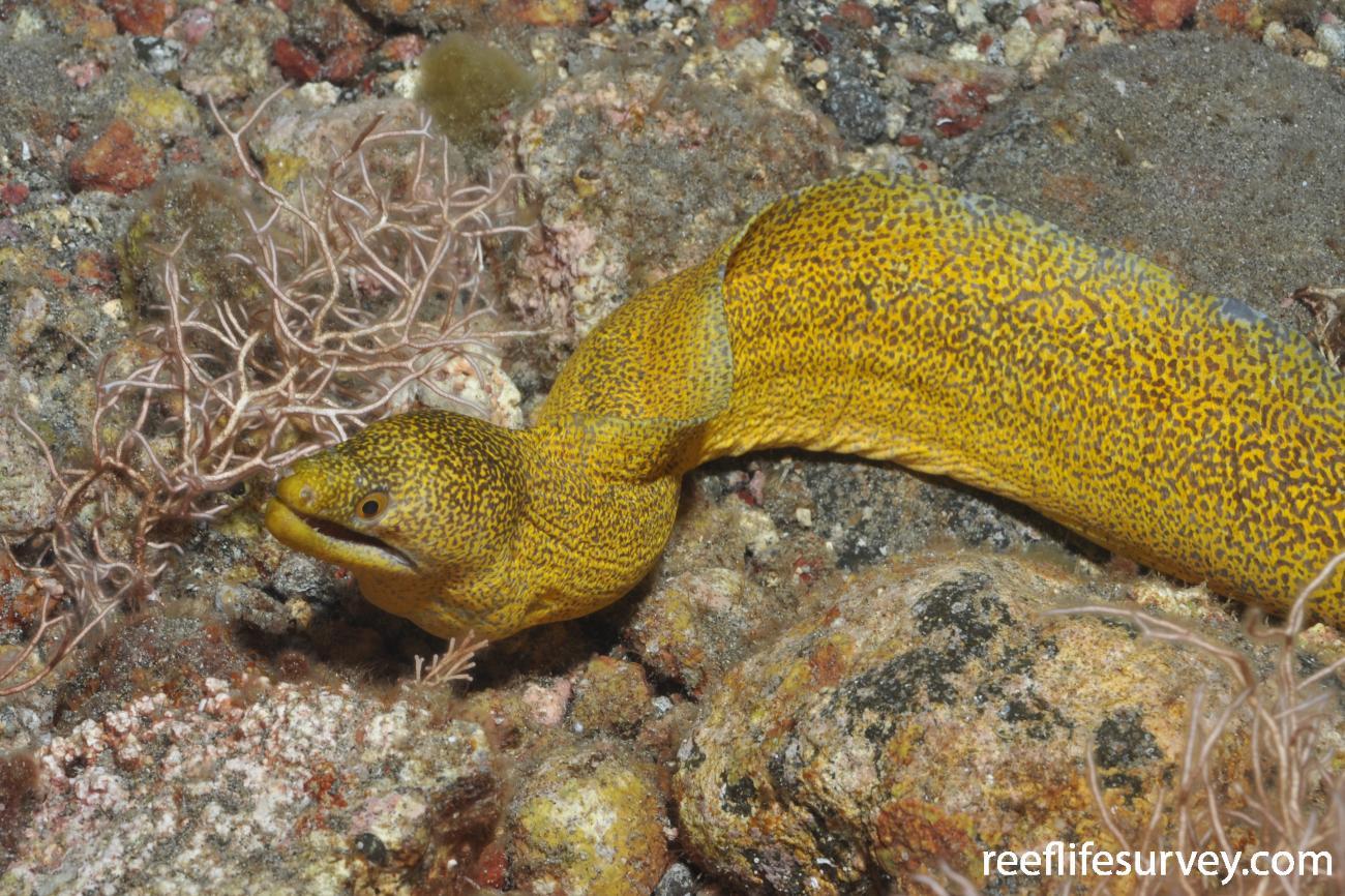Gymnothorax eurostus, Kermadec Islands, New Zealand,