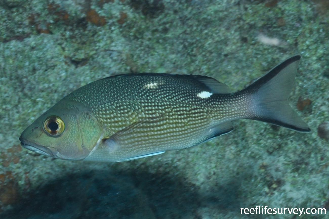 Lutjanus bohar, Juvenile.  Photo: Rick Stuart-Smith