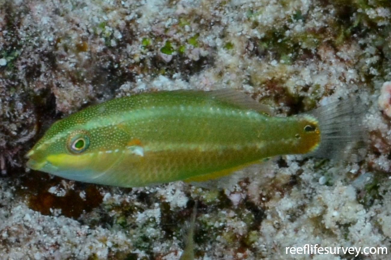 Stethojulis bandanensis, Juvenile.  Photo: Graham Edgar