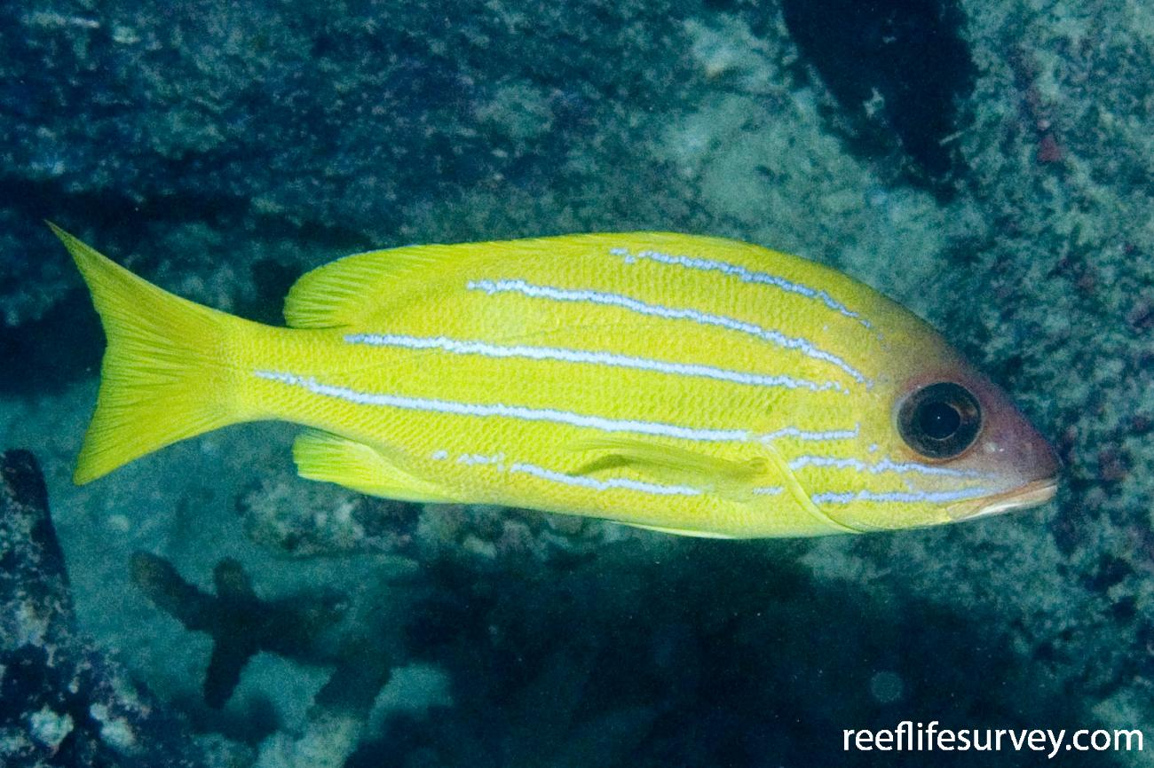 Lutjanus quinquelineatus, Cairns, Great Barrier Reef, QLD,  Photo: Andrew Green