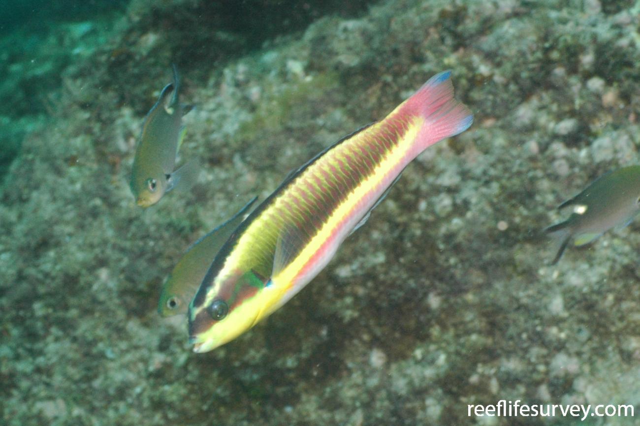 Thalassoma lucasanum, Coiba, Panama,  Photo: Graham Edgar