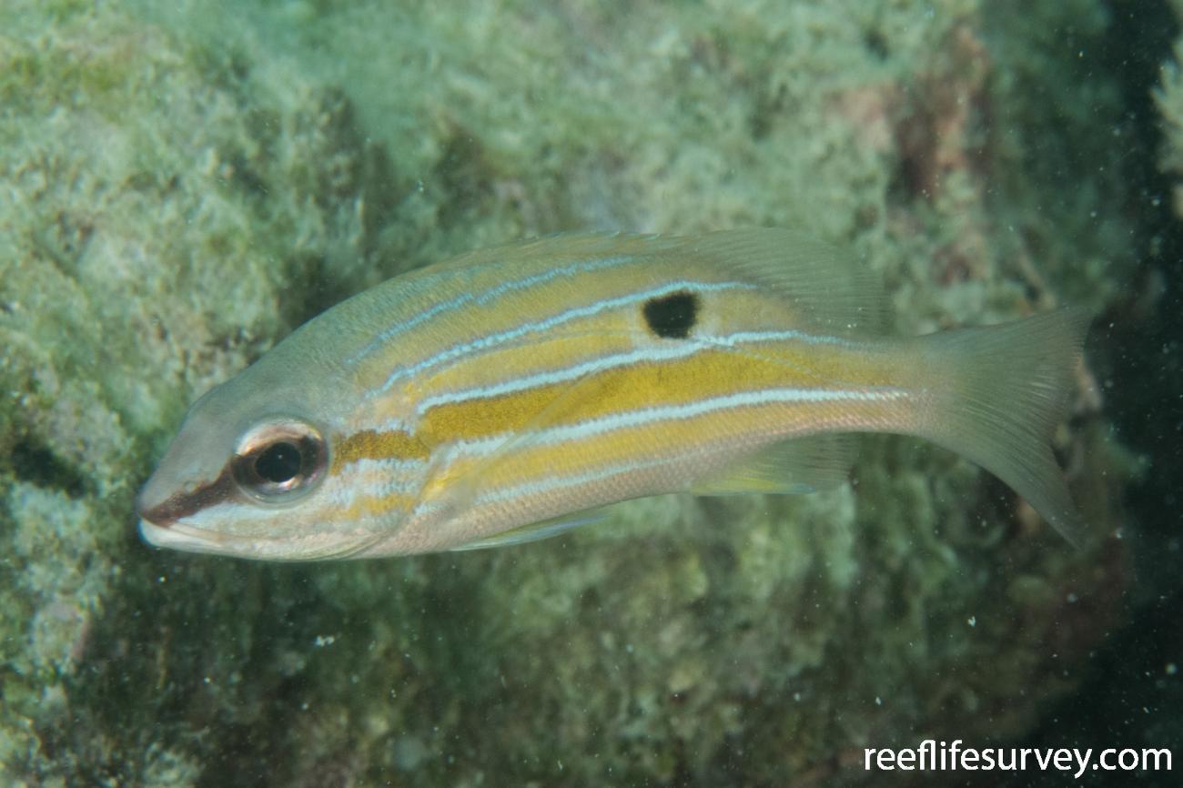 Lutjanus quinquelineatus, Juvenile, QLD, Australia,  Photo: Rick Stuart-Smith