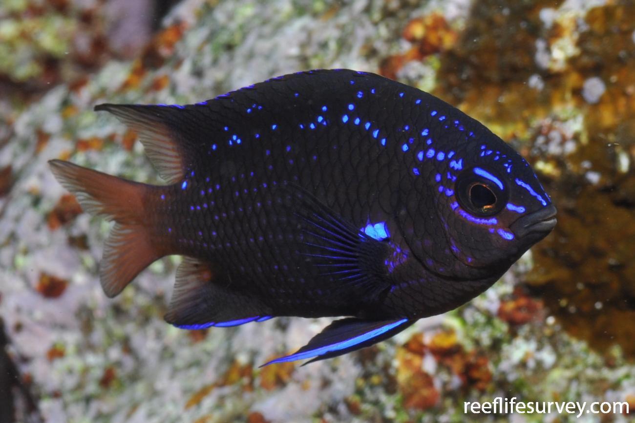 Abudefduf luridus, Juvenile, Tenerife,  Photo: Rick Stuart-Smith