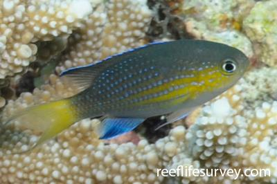Chromis nigrura: Adult.  Photo: Rick Stuart-Smith