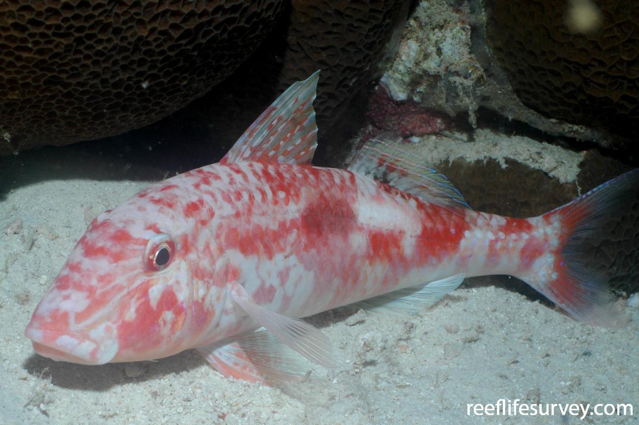 Parupeneus pleurostigma, Aceh, Indonesia,  Photo: Rick Stuart-Smith