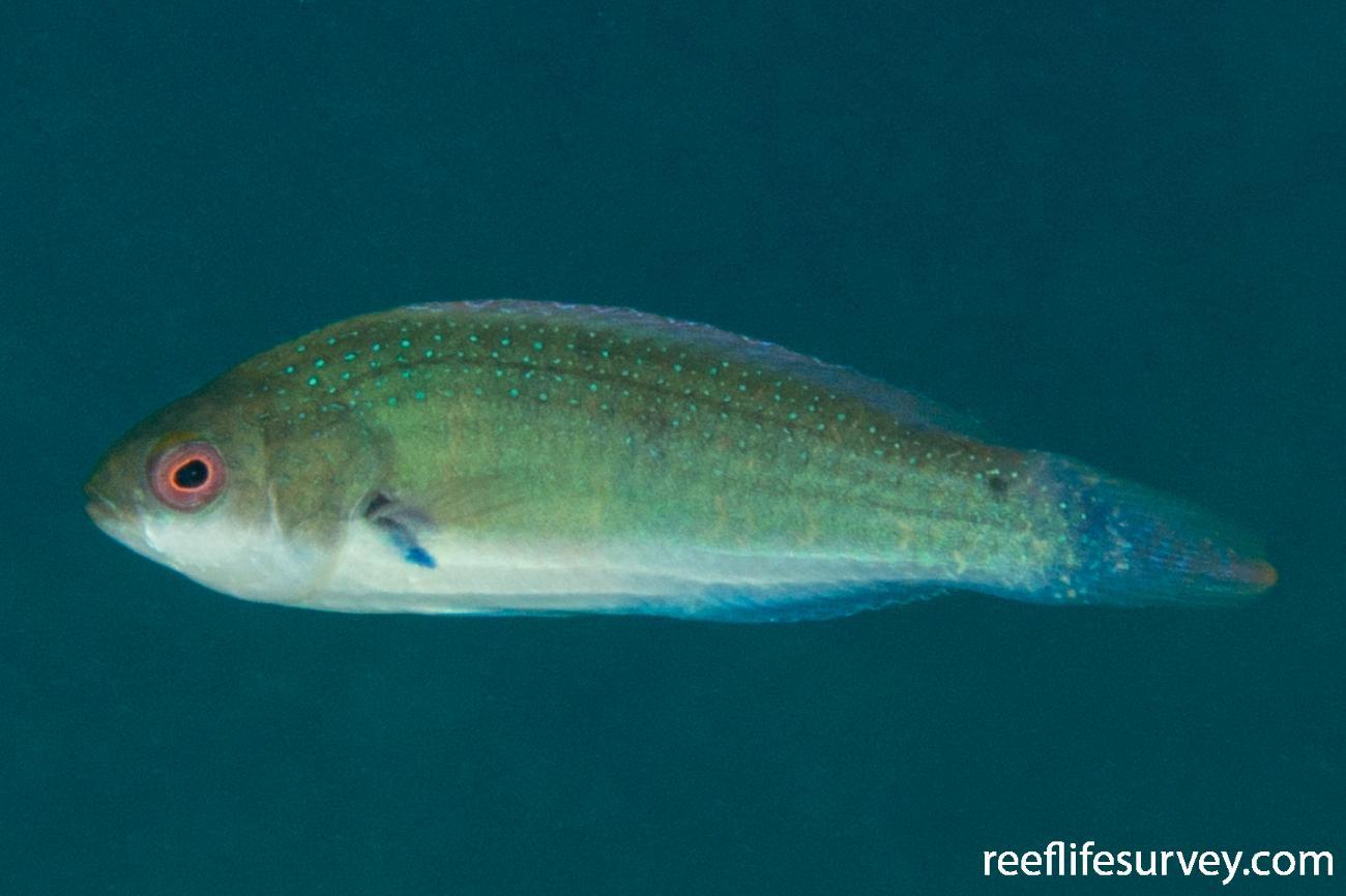 Cirrhilabrus randalli, Female.  Photo: Rick Stuart-Smith
