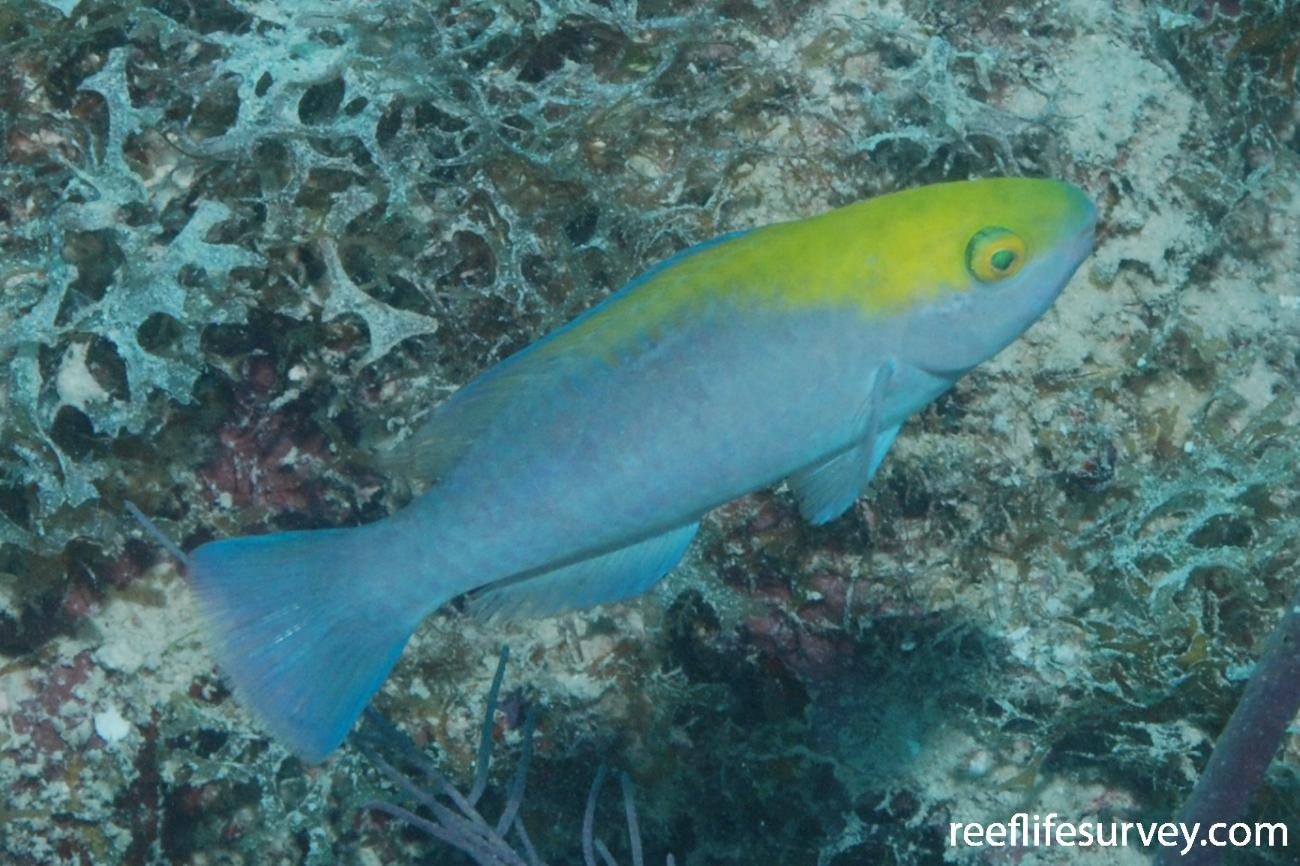 Scarus coeruleus, Juvenile, Florida Keys, USA,  Photo: Graham Edgar