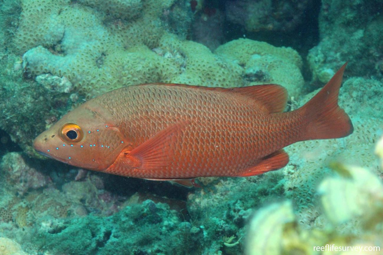 Lutjanus alexandrei, Abrolhos Islands, Brazil,  Photo: Graham Edgar