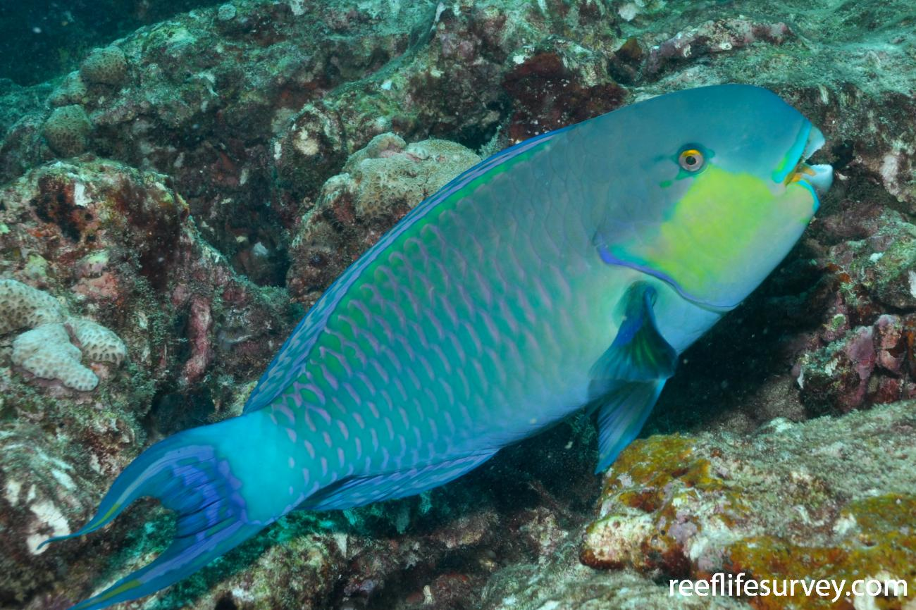 Chlorurus strongylocephalus, Male, Maldives,  Photo: Rick Stuart-Smith