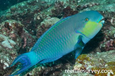 Chlorurus strongylocephalus: Male, Maldives,  Photo: Rick Stuart-Smith