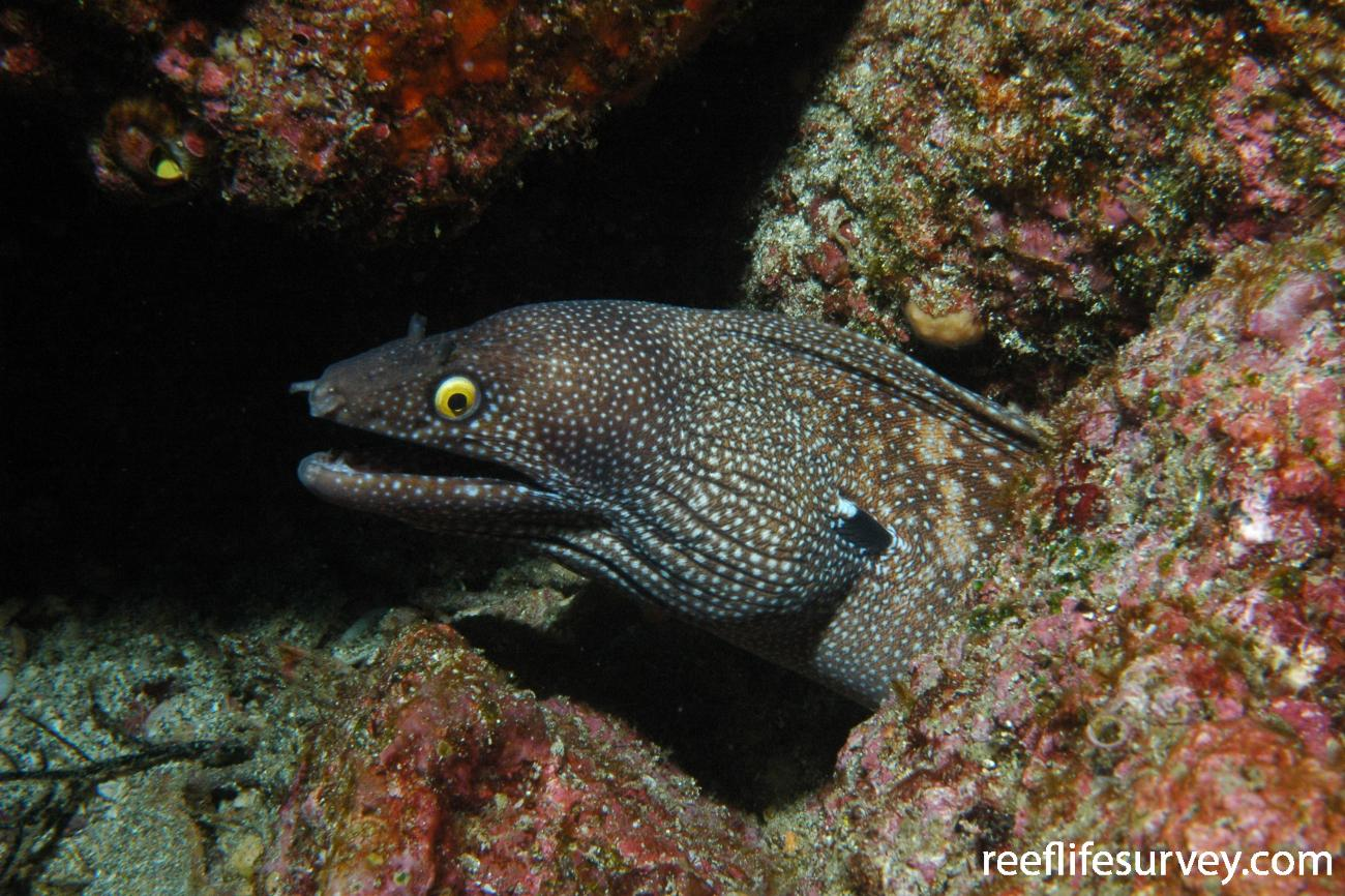 Muraena argus, Galapagos Islands, Ecuador,  Photo: Graham Edgar