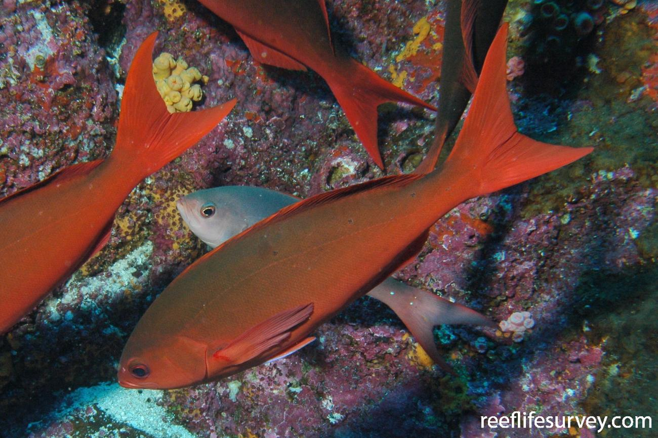 Paranthias colonus, Galapagos Islands, Ecuador,  Photo: Graham Edgar