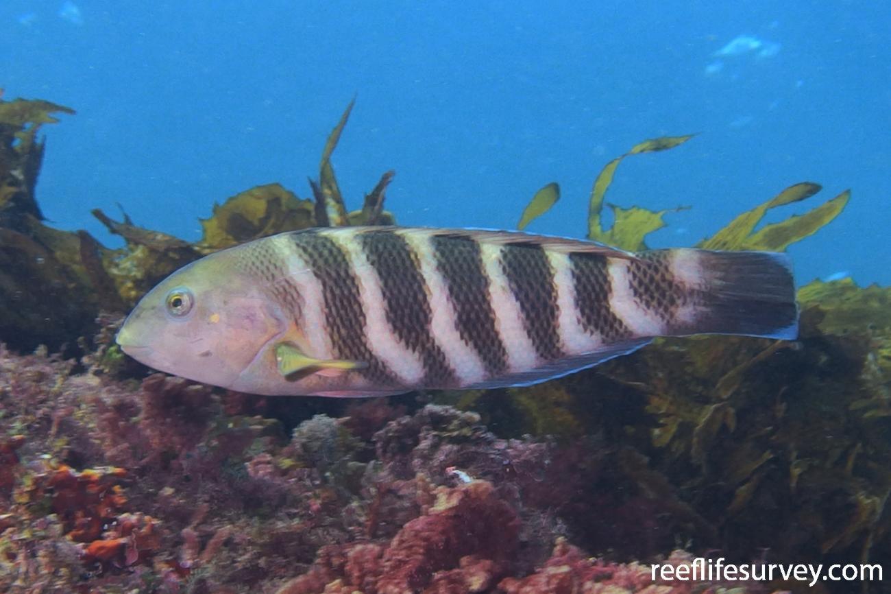 Thalassoma septemfasciatum, Female, Rottnest Is, WA,  Photo: Don Love