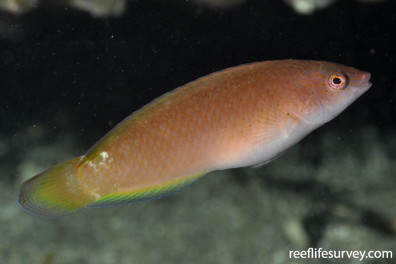 Austrolabrus maculatus, Sydney, NSW,  Photo: Rick Stuart-Smith