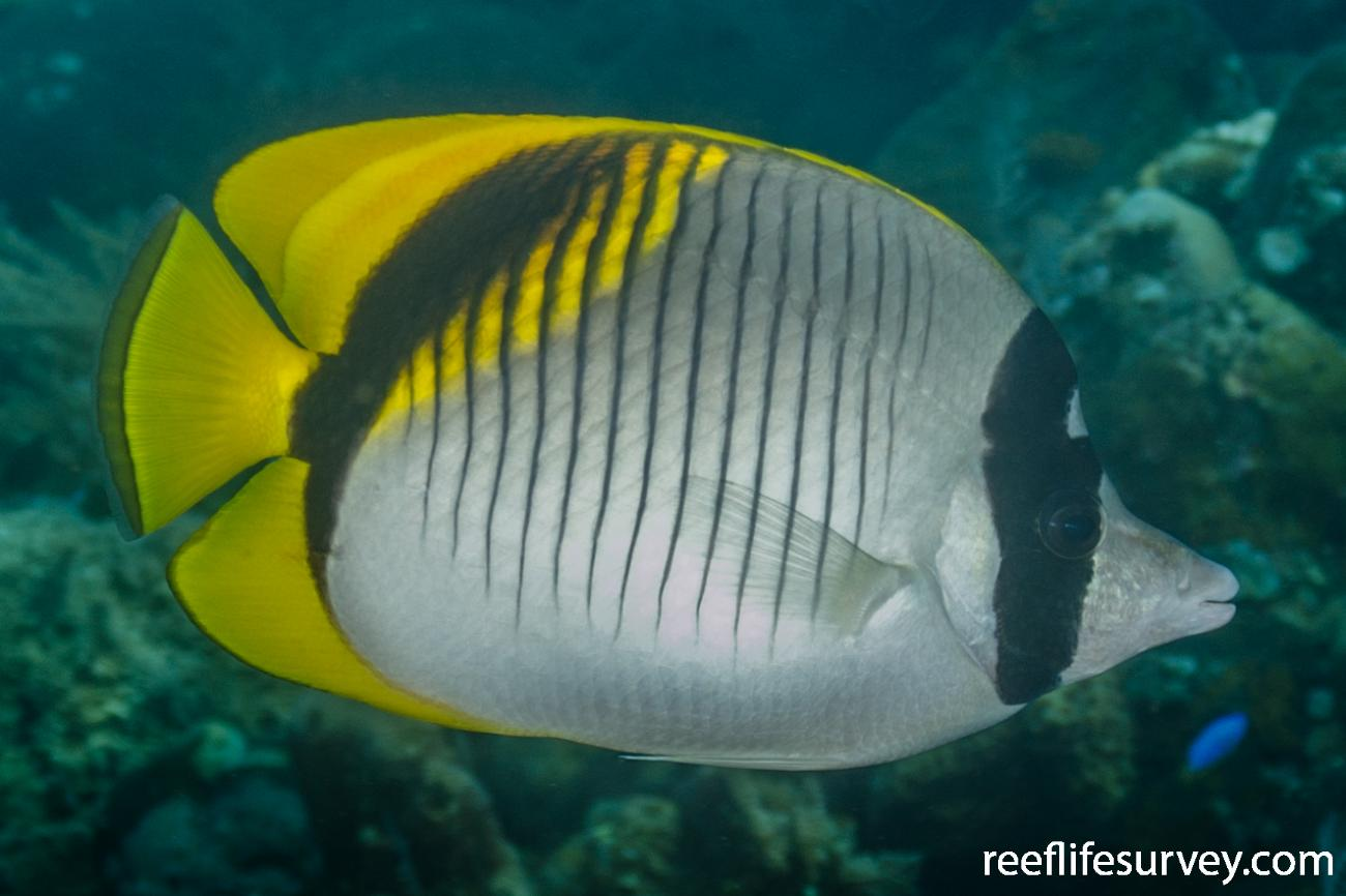 Chaetodon lineolatus, Adult, Bali, Indonesia,  Photo: Ian Shaw