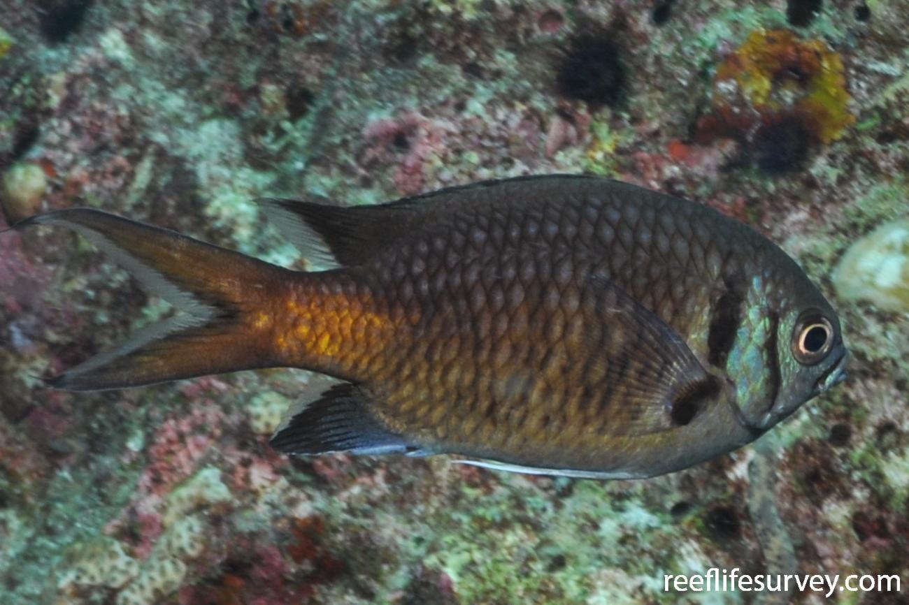 Chromis opercularis, Maldives,  Photo: Rick Stuart-Smith