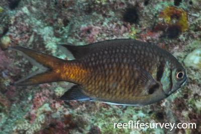 Chromis opercularis: Maldives,  Photo: Rick Stuart-Smith