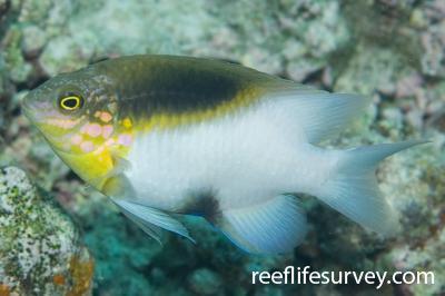 Dischistodus melanotus: Adult, Great Barrier Reef, Cairns, Qld,  Photo: Andrew Green