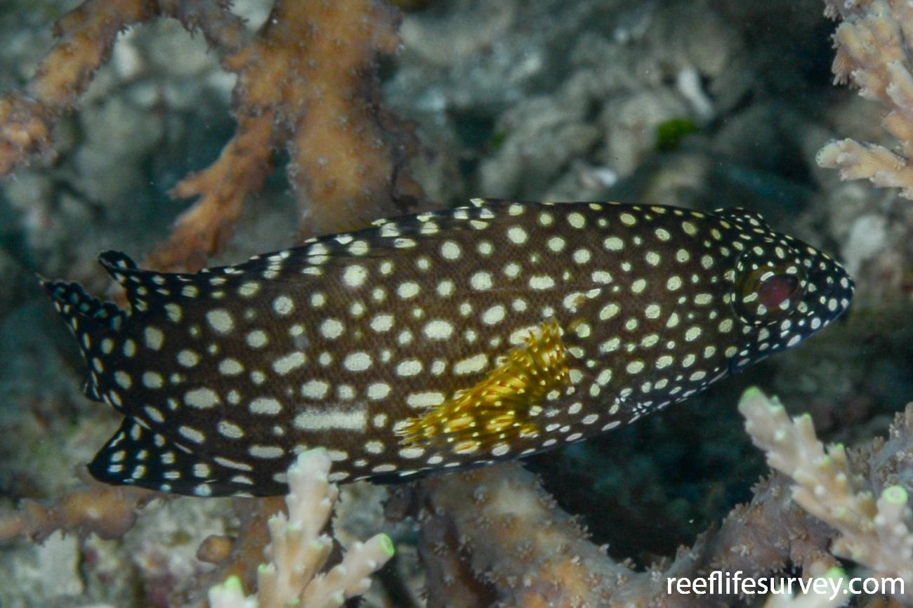 Epinephelus ongus, Juvenile.  Photo: Rick Stuart-Smith