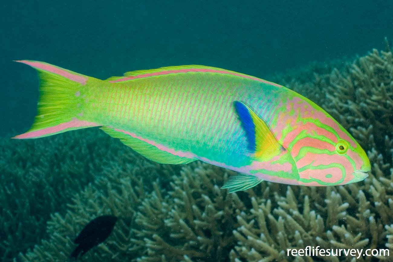 Thalassoma lutescens, Male, Lord Howe Is, NSW,  Photo: Andrew Green