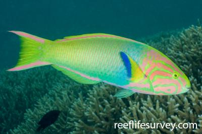 Thalassoma lutescens: Male, Lord Howe Is, NSW,  Photo: Andrew Green