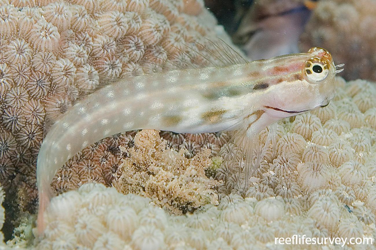 Ecsenius yaeyamaensis,  Photo: Andrew Green