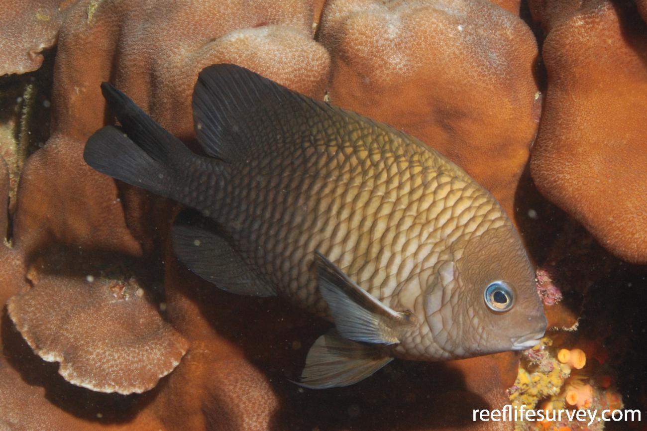 Stegastes acapulcoensis, Machalilla, Ecuador,  Photo: Graham Edgar