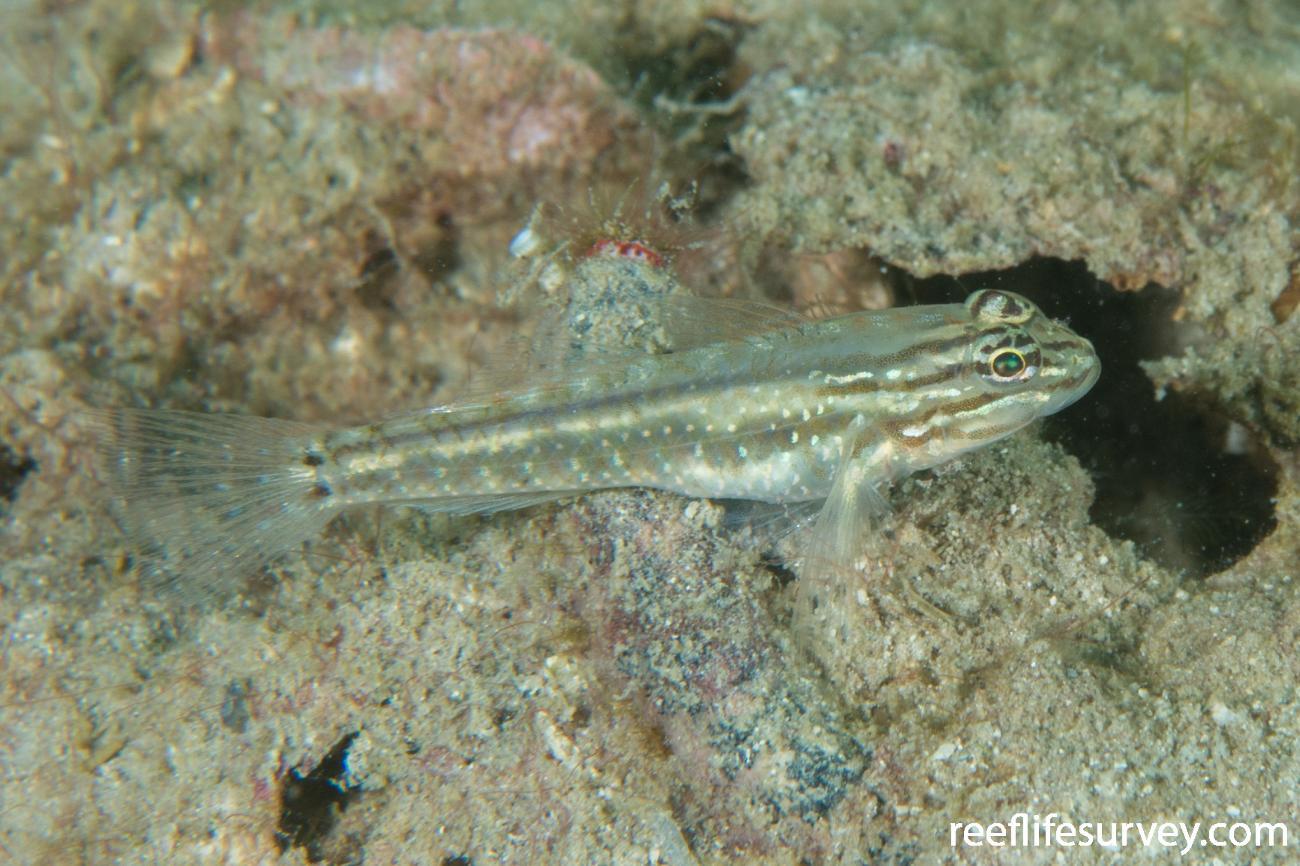 Coryphopterus glaucofraenum, Bocas del Toro, Panama,  Photo: Rick Stuart-Smith