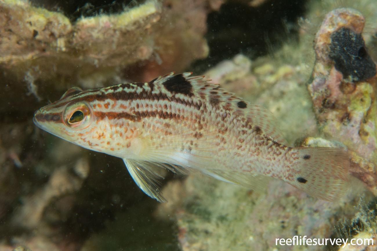 Serranus flaviventris, Bocas del Toro, Panama,  Photo: Rick Stuart-Smith