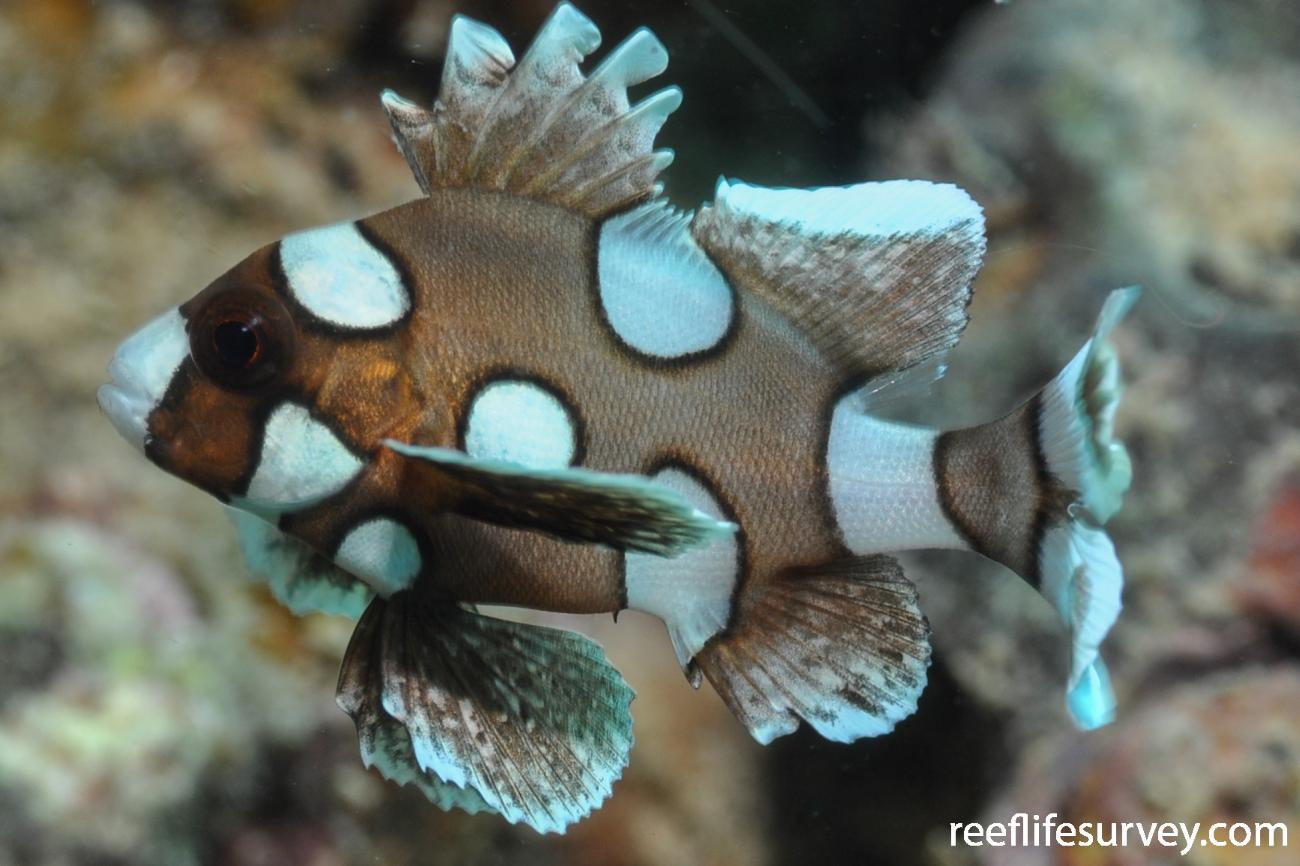 Plectorhinchus chaetodonoides, Juvenile, Gulf of Carpentaria, Australia,  Photo: Rick Stuart-Smith
