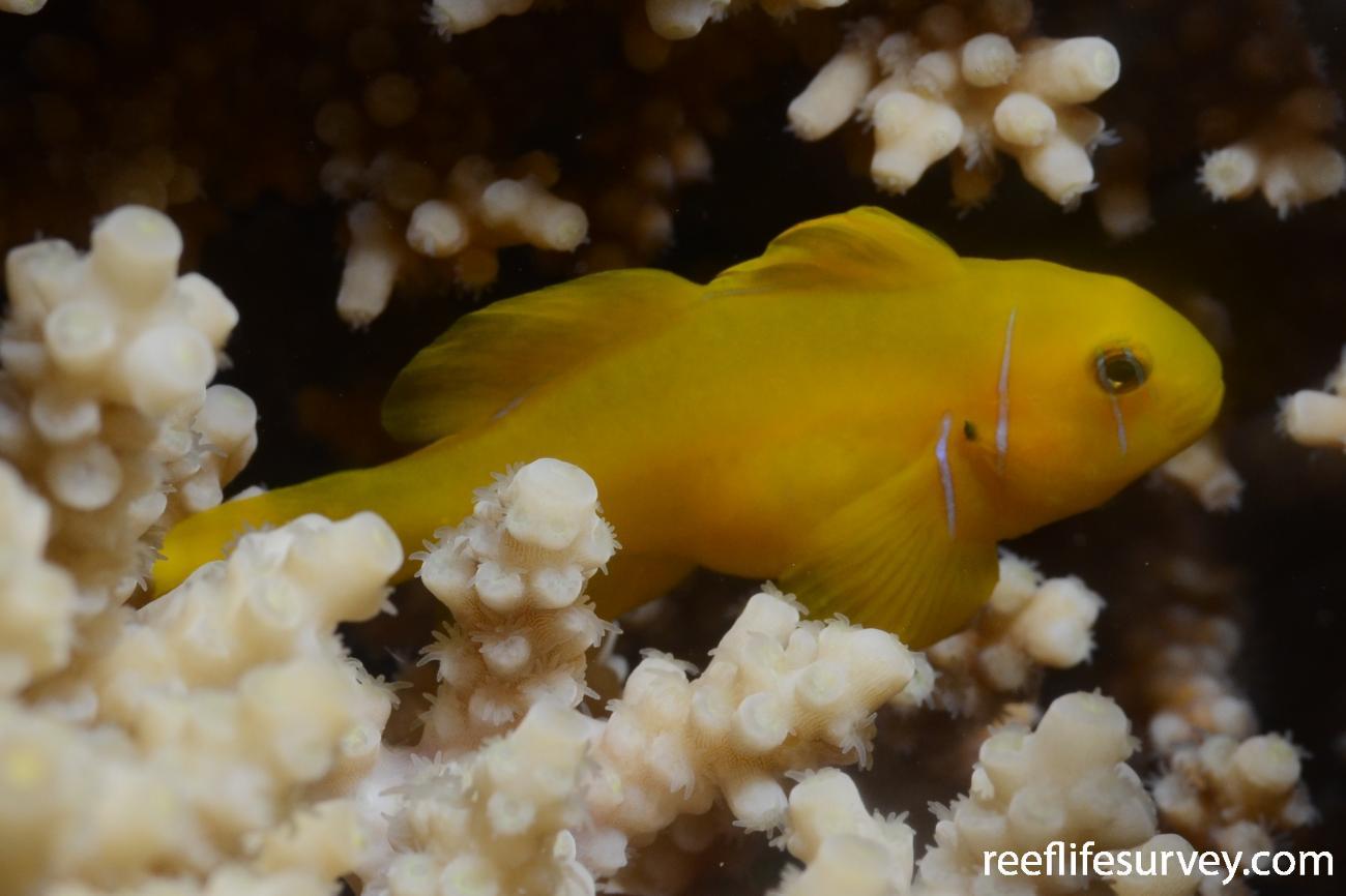 Gobiodon citrinus, Red Sea,  Photo: Graham Edgar