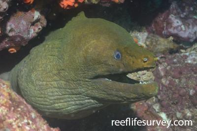 Gymnothorax castaneus: Panama,  Photo: Graham Edgar
