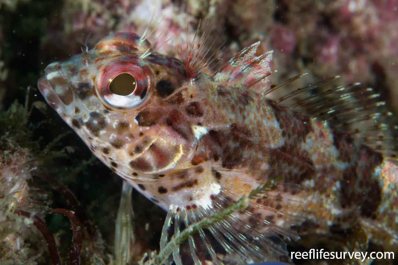 Malacoctenus tetranemus, Nicaragua,  Photo: Rick Stuart-Smith