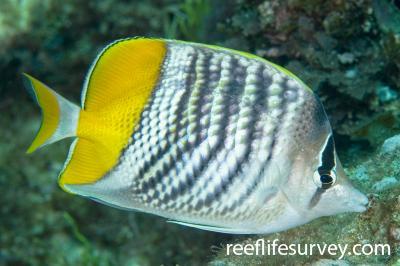 Chaetodon mertensii: Adult, Lord Howe Is, Australia,  Photo: Andrew Green
