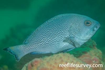 Epinephelus cyanopodus:  Photo: Tom Davis