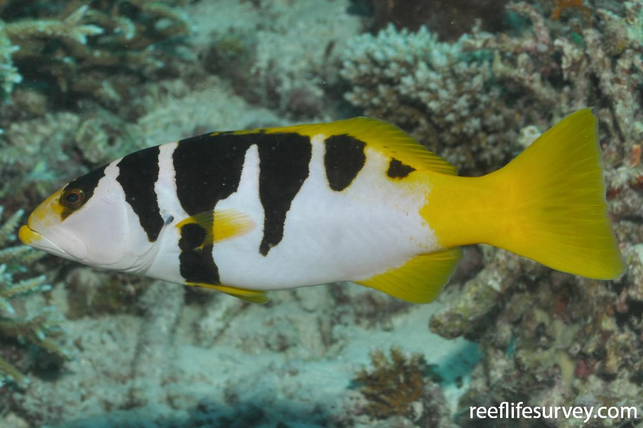 Plectropomus laevis, Adult, Footballer variation. Maldives,  Photo: Rick Stuart-Smith