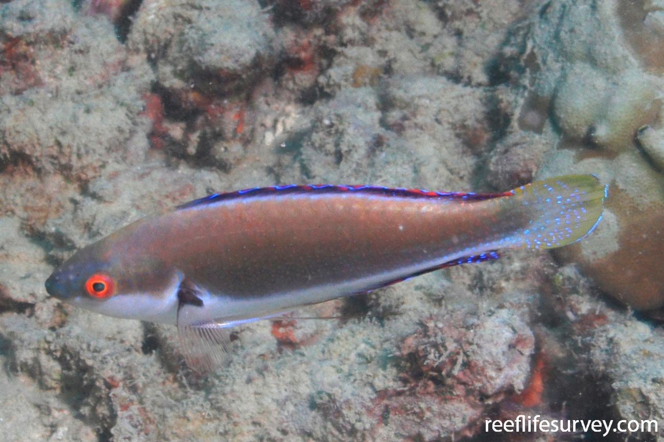 Cirrhilabrus punctatus, QLD, Australia,  Photo: Graham Edgar