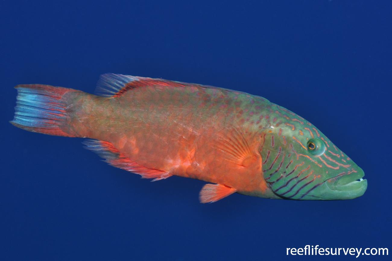 Oxycheilinus digrammus, Adult, Red Sea,  Photo: Rick Stuart-Smith