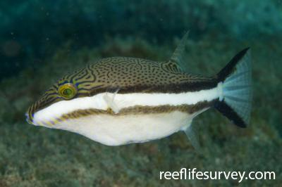 Canthigaster callisterna: Jervis Bay, NSW,  Photo: Andrew Green