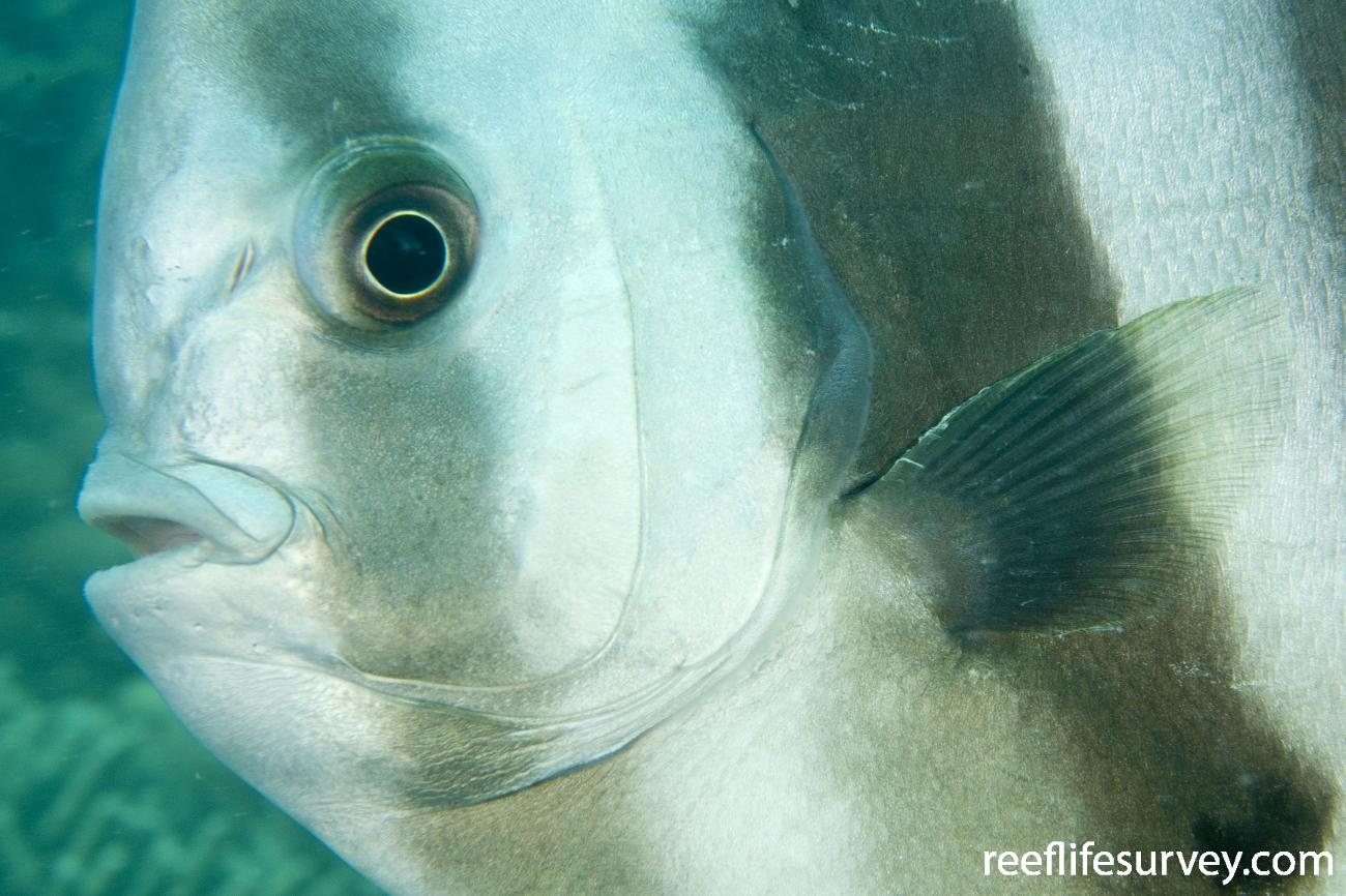 Platax teira, Dugong Is, Great Barrier Reef, QLD,  Photo: Andrew Green