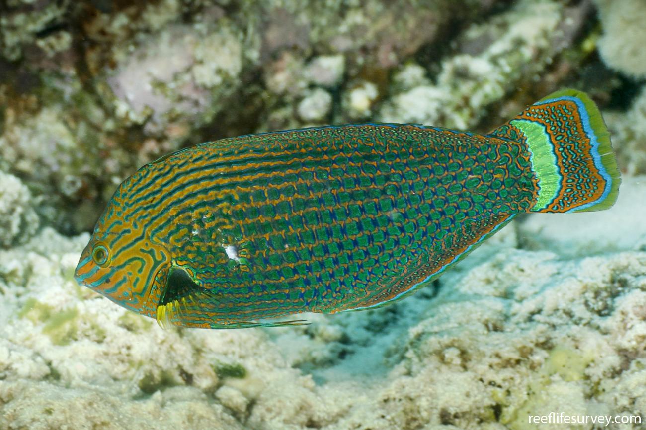Halichoeres marginatus, Male, Coral Sea, Australia,  Photo: Ian Shaw