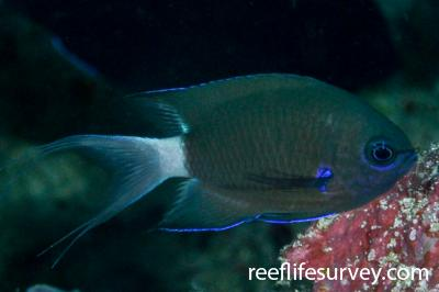 Chromis caudalis: Adult.  Photo: Rick Stuart-Smith