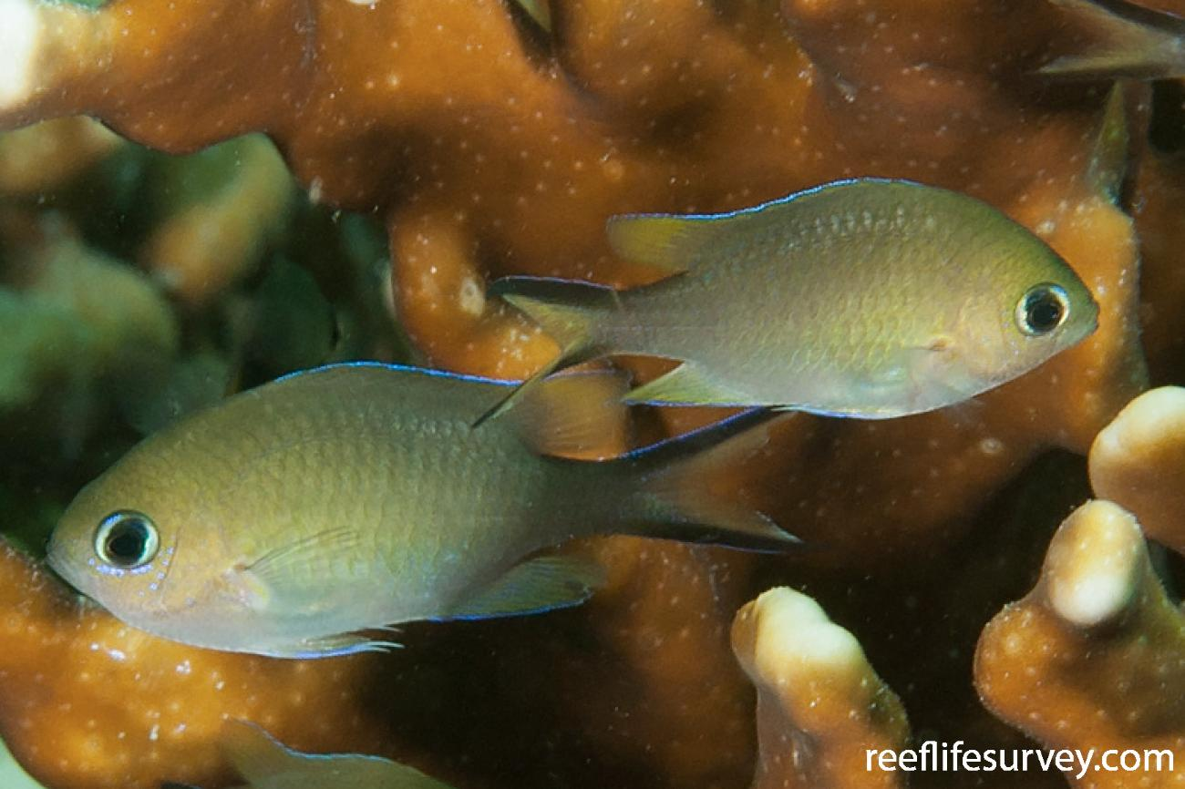 Chromis ternatensis, Juvenile, Aceh, Indonesia,  Photo: Ian Shaw