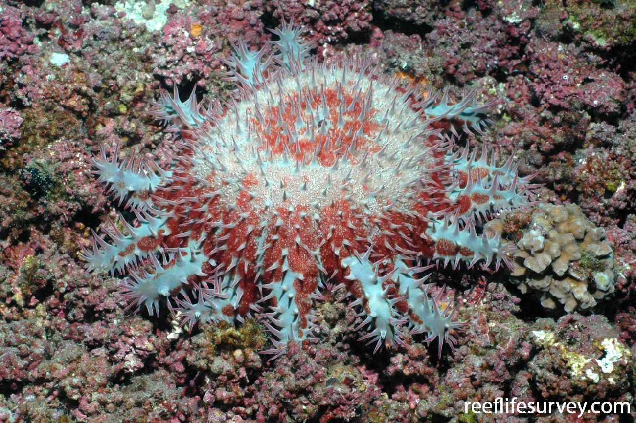Acanthaster planci, Cocos Island, Costa Rica,  Photo: Graham Edgar