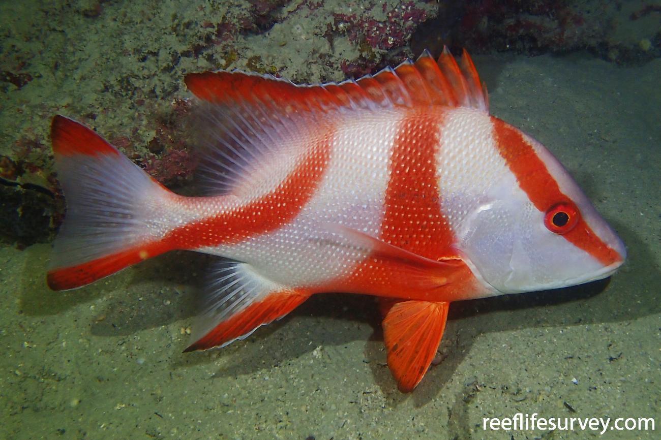 Lutjanus sebae, Great Barrier Reef, QLD,  Photo: Graham Edgar
