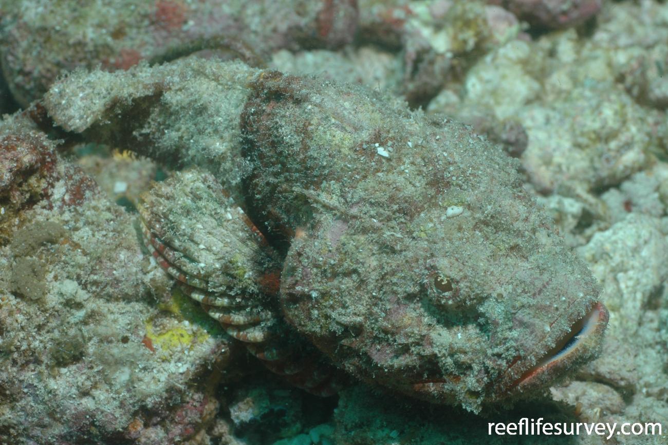 Scorpaenopsis diabolus, Indonesia,