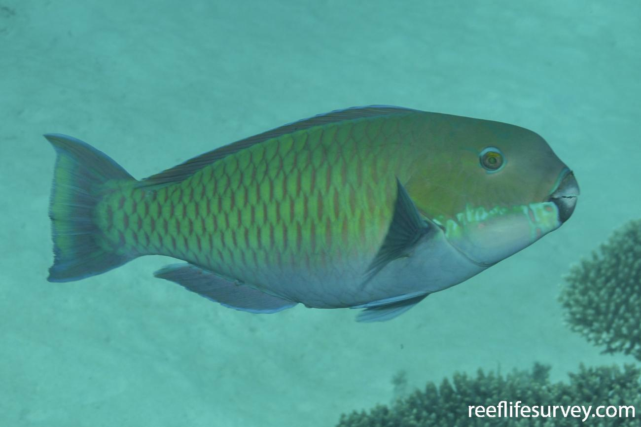 Chlorurus microrhinos, Female, WA, Australia,  Photo: Rick Stuart-Smith