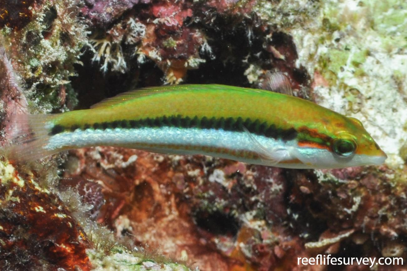 Thalassoma lutescens, Juvenile.  Photo: Rick Stuart-Smith