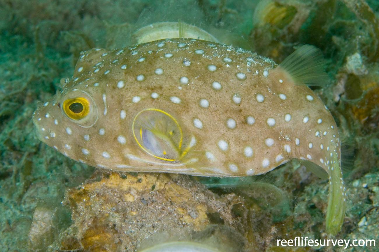 Arothron hispidus, Juvenile.  Photo: Andrew Green